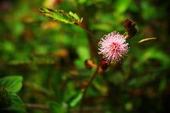 Fiore di mimosa pudica Immagine Stock Libera da Diritti