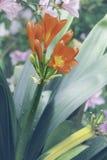 Fiore di miniata di Clivia Fotografia Stock Libera da Diritti