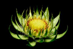 Fiore di morte Fotografia Stock Libera da Diritti