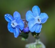 Fiore di myosotis dalla Tailandia del Nord Immagine Stock