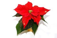Fiore di Natale Fotografie Stock