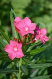 Fiore di nerium oleander Fotografia Stock Libera da Diritti