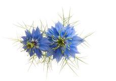 fiore di nigella isolato fotografie stock