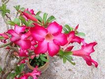 Fiore di Obesum del Adenium Fotografia Stock