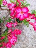 Fiore di Obesum del Adenium Fotografia Stock Libera da Diritti