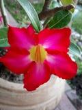 Fiore di Obesum del Adenium nel giardino del Messico immagine stock libera da diritti