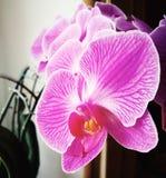 Fiore di orchidaceae dalla finestra Sguardo artistico nei colori d'annata Fotografia Stock
