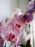 Fiore di orchidaceae dalla finestra Sguardo artistico nei colori d'annata Fotografie Stock Libere da Diritti