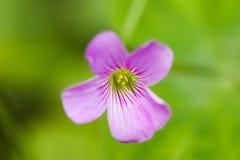 Fiore di oxalis Fotografia Stock