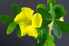 Fiore di oxalis in giardino Fotografia Stock