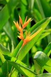 Fiore di paradiso Immagini Stock Libere da Diritti
