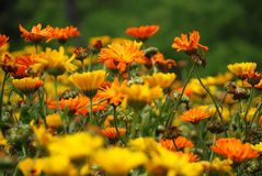 Fiore di parecchie margherite arancio Fotografie Stock Libere da Diritti