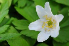 Fiore di Pasqua Fotografia Stock Libera da Diritti
