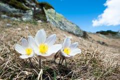 Fiore di Pasque della sorgente Fotografia Stock
