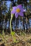Fiore di Pasque orientale Fotografia Stock Libera da Diritti