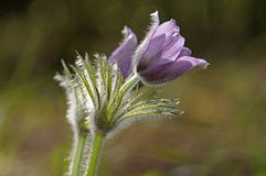 Fiore di Pasque orientale Immagine Stock Libera da Diritti