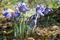 Fiore di Pasque, patens del Pulsatilla Pasque Flowers & x28; Picchiettio del Pulsatilla fotografie stock libere da diritti