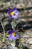 Fiore di Pasque, patens del Pulsatilla Pasque Flowers & x28; Picchiettio del Pulsatilla fotografia stock