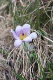 Fiore di Pasque (Pulsatila vulgaris) Immagini Stock Libere da Diritti