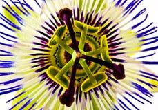 Fiore di passione Immagini Stock