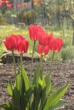 Fiore 30 di passione Fotografia Stock