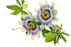 Fiore di passione (passiflora) Fotografie Stock Libere da Diritti