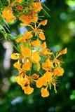 Fiore di pavone Immagine Stock Libera da Diritti