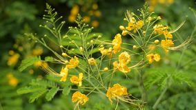 Fiore di pavone in giardino, Tailandia stock footage