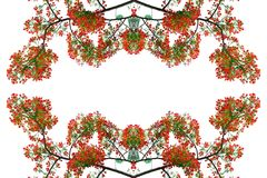 Fiore di pavone rosso Fotografia Stock
