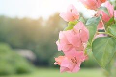 Fiore di Peper Immagine Stock
