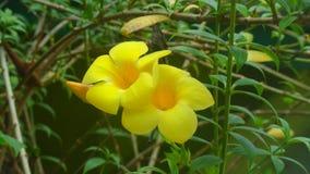 Fiore di peruviana di Thevetia Fotografia Stock