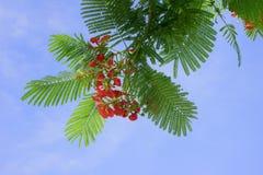 Fiore di Phoenix. Fotografie Stock Libere da Diritti