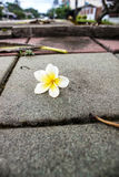 Fiore di Plumaria Fotografie Stock Libere da Diritti