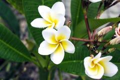 Fiore di Plumaria Fotografia Stock Libera da Diritti