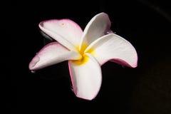 Fiore di Plumerai su acqua Fotografia Stock Libera da Diritti