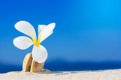 Fiore di Plumeria Fotografie Stock