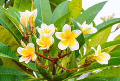 Fiore di plumeria Immagine Stock