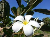Fiore di plumeria Immagini Stock