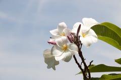 Fiore di plumeria Immagini Stock Libere da Diritti