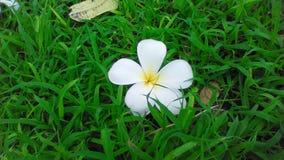 Fiore di plumeria che cade sull'erba Fotografia Stock Libera da Diritti