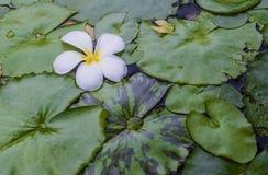 Fiore di plumeria con le foglie del loto Fotografie Stock Libere da Diritti