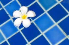 Fiore di plumeria del frangipane nella piscina fotografie stock