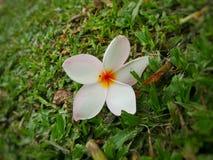 Fiore di plumeria in giardino Fotografie Stock