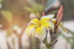 Fiore di plumeria nel giardino fotografia stock libera da diritti