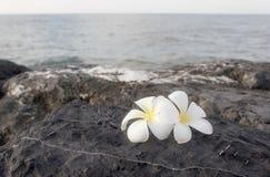 Fiore di plumeria o del frangipane Immagini Stock Libere da Diritti