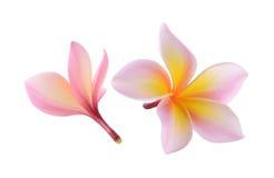 Fiore di plumeria rubra isolato su fondo bianco Fotografie Stock