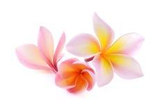 Fiore di plumeria rubra isolato su fondo bianco Immagine Stock