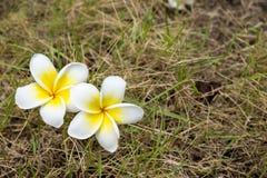 Fiore di plumeria su erba Fotografia Stock Libera da Diritti