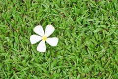 Fiore di plumeria su erba verde Fotografia Stock