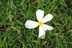 Fiore di plumeria su erba verde Fotografia Stock Libera da Diritti
